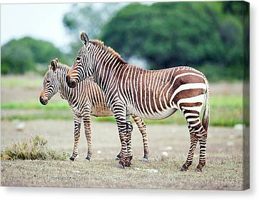 Cape Mountain Zebra And Foal Canvas Print by Peter Chadwick
