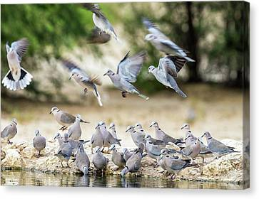 Cape Turtle Doves Drinking Canvas Print by Peter Chadwick