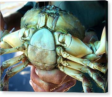 Capers Crab Canvas Print
