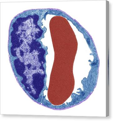 Histology Canvas Print - Capillary And Red Blood Cell by Steve Gschmeissner