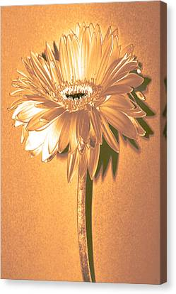 Captain And Coke Zinnia Canvas Print by Sherry Allen