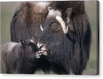 Captive Adult Female Musk Ox With Calf Canvas Print