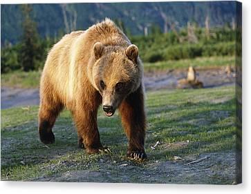 Captive Brown Bear Walking Canvas Print by Doug Lindstrand