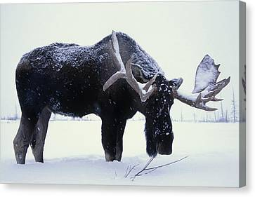 Captive Bull Moose Foraging For Food Canvas Print