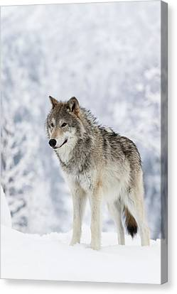 Captive  Female Tundra Wolf In Snow Canvas Print