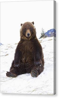 Captive Grizzly During Winter Sits Canvas Print by Doug Lindstrand
