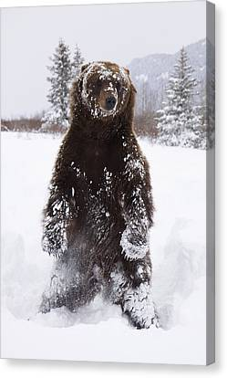 Captive Grizzly Stands On Hind Feet Canvas Print by Doug Lindstrand
