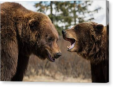 Captive  Male And Female Brown Bears Canvas Print by Doug Lindstrand