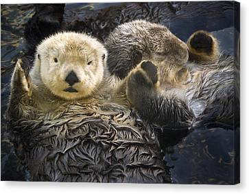 Vancouver Canvas Print - Captive Two Sea Otters Holding Paws At by Tom Soucek