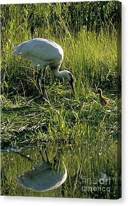 Captive Whooping Crane With Chick Canvas Print by William H. Mullins