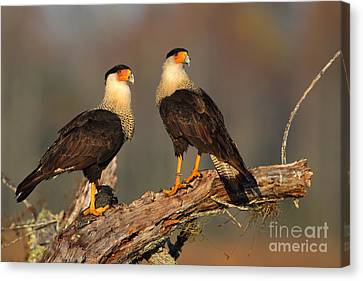 Caracaras Canvas Print by Rick Mann