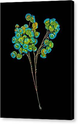 Carchesium Colony, Confocal Micrograph Canvas Print by Science Photo Library