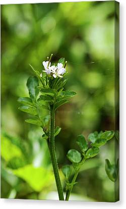 Cardamine Flexuosa Flowers Canvas Print