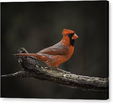 Cardinal 2011-1 Canvas Print