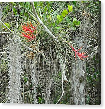 Cardinal Air Plant Tillandsia Canvas Print by John Serrao