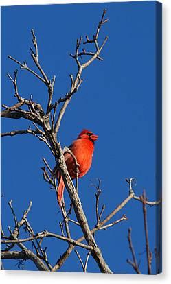 Cardinal And Blue Canvas Print