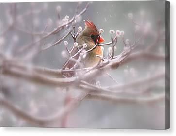 Cardinal - Bird - Lady In The Rain Canvas Print by Travis Truelove