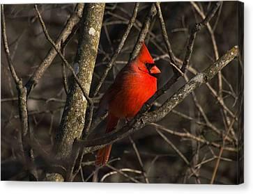 Cardinal Canvas Print by Cheryl Cencich
