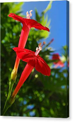 Cardinal Climber Flowers Canvas Print by Christina Rollo