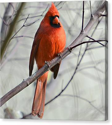 Cardinal In A Tree Canvas Print by Susan Leggett