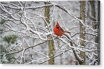 Cardinal In Snow Canvas Print