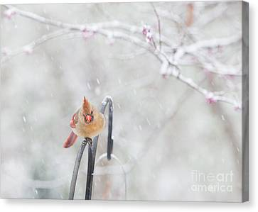 Cardinal In Snow Canvas Print by Kay Pickens