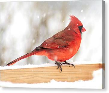 Cardinal In Snow Storm Canvas Print