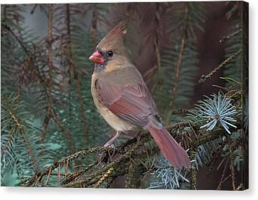 Cardinal In Spruce Canvas Print by John Kunze
