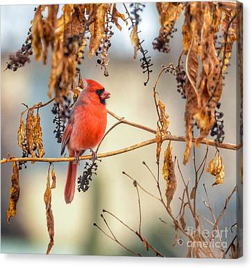 Cardinal In The Pokeberries Canvas Print by Kerri Farley