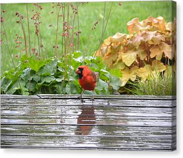 Canvas Print featuring the photograph Cardinal In The Rain by Teresa Schomig