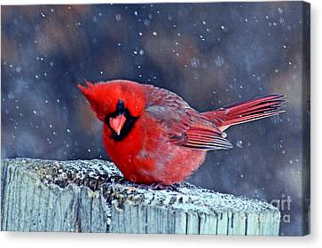 Canvas Print featuring the photograph Cardinal In The Snow by Rodney Campbell