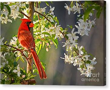 Cardinal In The Springtime Canvas Print by Nava Thompson