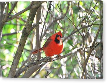 Canvas Print featuring the photograph Cardinal In Tree by Jodi Terracina