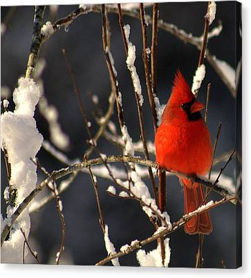Canvas Print featuring the photograph Cardinal In Winter 2 by John Harding