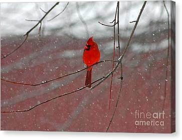 Canvas Print featuring the photograph Cardinal In Winter by Olivia Hardwicke