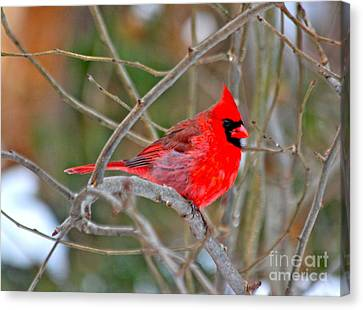Canvas Print featuring the photograph Cardinal by Jay Nodianos