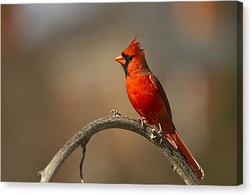 Canvas Print featuring the photograph Cardinal by Jerry Gammon