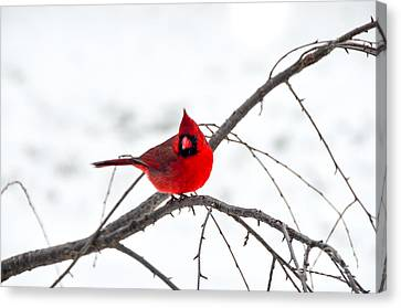 Cardinal On A Branch  Canvas Print