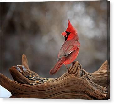 Cardinal On A Log Canvas Print by Bill Wakeley
