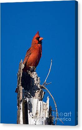 Cardinal On Honeymoon Island Canvas Print