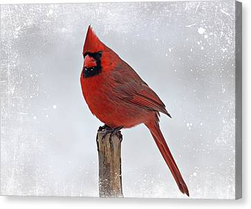 Cardinal Perching Canvas Print by Sandy Keeton