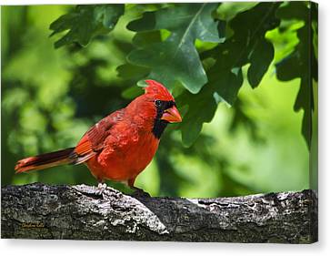 Cardinal Red Canvas Print by Christina Rollo