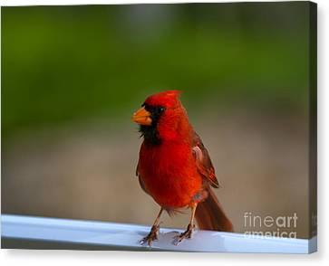 Cardinal Red Canvas Print by Mike  Dawson