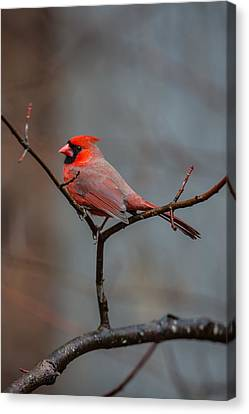 Cardinal Sing Canvas Print by John Haldane