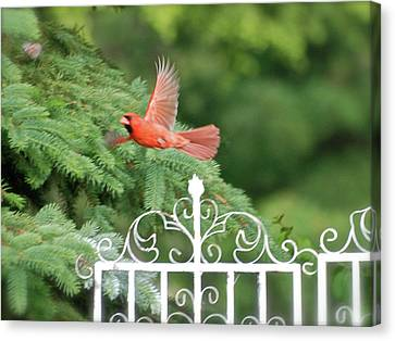 Canvas Print featuring the photograph Cardinal Time To Soar by Thomas Woolworth