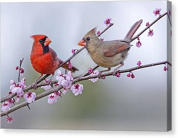 Cardinals In Plum Blossoms Canvas Print