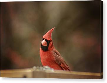Cardinals Canvas Print by Kimberly Danner