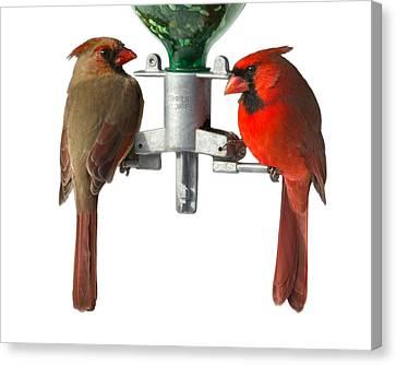 Cardinals On White Canvas Print by John Kunze