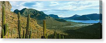Cardon Cactus Plants At Hillside Canvas Print by Panoramic Images