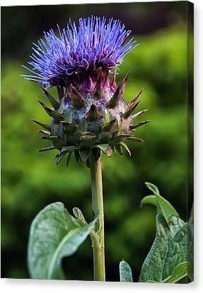 Flowers Names Canvas Print - Cardoon by Chris Flees